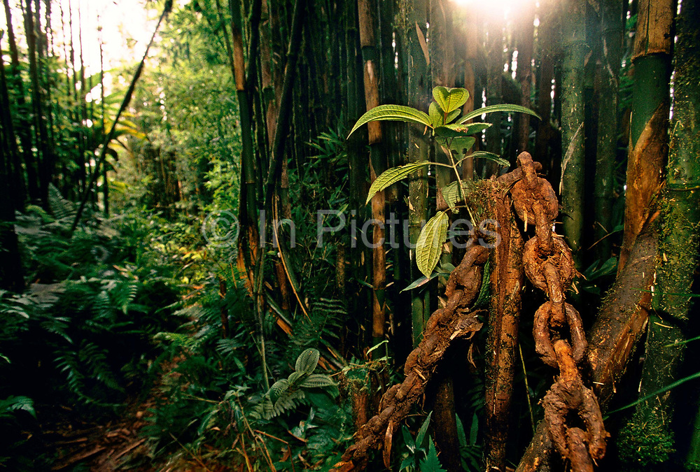 A rusting anchor chain was swung round by prisoners at the highest poin of the island, Green Mountain, and believed to attract rainclouds and help create the tropical rain forest, 27th May 1997, on Ascension, a small area of approximately 88 km² isolated volcanic island in the equatorial waters of the South Atlantic Ocean, roughly midway between the horn of South America and Africa. It is governed as part of the British Overseas Territory of Saint Helena, Ascension and Tristan da Cunha. Organised settlement of Ascension Island began in 1815, when the British garrisoned it as a precaution after imprisoning Napoleon I on Saint Helena. In January 2016 the UK Government announced that an area around Ascension Island was to become a huge marine reserve, to protect its varied and unique ecosystem, including some of the largest marlin in the world, large populations of green turtle, and the islands own species of frigate bird. With an area of 234,291 square kilometres 90,460 sq mi, slightly more than half of the reserve will be closed to fishing.