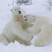 Polar bear (Ursus maritimus) pair of males wrestling together on the ice. Hudson Bay, Churchill, Canada