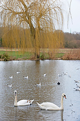 © Licensed to London News Pictures 20/02/2021.        Sidcup, UK. White swans at Footscray Meadows in Sidcup, South East London this morning. Warmer temperatures are expected all weekend with today set to be the hottest in three months. Photo credit:Grant Falvey/LNP