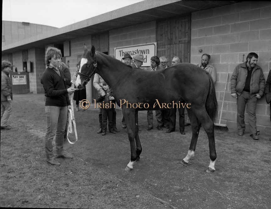 """Shergar Foal Sale.1983.20.11.1983.11.20.1983.20th November 1983..An,as yet,un-named foal  sired by the famous Shergar was on view for the first time today. The viewing was prior to the auction to be held at Goffs Sales,Kildare..Image of Ms Yvonne Morrissey,Thomastown Stud, as she prepares the colt for departure to the sales rooms..Note; On the 8th February 1983,""""Shergar"""",was kidnapped from the Ballymany Stud,Curragh, Co,Kildare. the IRA were the alleged kidnappers. Shergar had been syndicated for £10million by the Aga Khan,his owner. Shergar had won the Epsom Derby by a record 10 lengths. The purported ransom was £2million. Despite a large investigation the horse had dissappeared and no trace of him was ever found. The story has been the subject of much controversy and has be much covered in books and film"""
