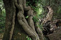 Pedunculate oak (Quercus robur) covered by common ivy (Hedera helix). Hutovo Blato Nature Park. May 2009. Bosnia-Herzegovina.<br /> Elio della Ferrera / Wild Wonders of Europe