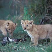 African Lion, (Panthera leo) Young cubs feeding on zebra leg. Masai Mara Game Reserve. Kenya. Africa.
