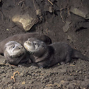 River Otter, (Lutra canadensis) Young pups. Montana. Captive Animal.