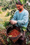 Harvesting coffee, Kona, Big Island of Hawaii