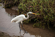 Great White Egret in the Morro Coast Audubon Society Sweet Springs Nature Preserve, Baywood Park, San Luis Obispo County, California, USA
