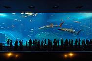 JPN, Japan: Okinawa Churaumi Aquarium, zwei Walhaie (Rhincodon typus), die groessten Fische der Welt schwimmen hinter der groessten Aquarienscheibe der Welt (22,5m lang, 8,2 m hoch, 60cm dicke Acrylscheibe), die Besucherattraktion, Ocean Expa Park, Okinawa, Okinawa | JPN, Japan: Okinawa Churaumi Aquarium, two Whale Sharks (Rhincodon typus), the largest fishes of the world swimming behind the world-wide largest aquarium pane (22,5 m long, 8,2 m high, 0,6 m thick acrylic pane), visitor attraction, Ocean Expo Park, Okinawa, Okinawa |