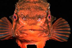 lumpsucker fish, Cyclopterus lumpus, during mating season, spawning colour, Rostock, Warnemuende, Germany, Baltic Sea