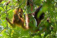 "Bornean Orangutan - ""wurmbii"" subspecies<br />(Pongo pygmaeus wurmbii)<br /><br />Adult female ""Delly"" with young juvenile female ""Dewyck"" feeding on flowers of the Madhuca tree.<br /><br />Cabang Panti Research Station<br />Gunung Palung National Park<br />West Kalimantan, Indonesia<br />Borneo Island"