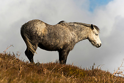 © Licensed to London News Pictures. 13/03/2021. Hay-on-Wye, Powys, Wales, UK. A Welsh mountain pony puts it's back to the strong cold wind on high land near Hay-on-Wye in Powys, Wales, UK. Photo credit: Graham M. Lawrence/LNP
