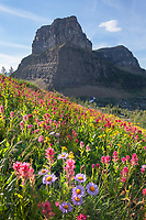 Meadows of red paintbrush and purple aster wildflowers at Boulder Pass. Glacier National Park