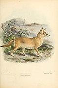 """The pale fox (Vulpes pallida [Here as Canis pallidus]) is a species of fox found in the band of African Sahel from Senegal in the west to Sudan in the east. It is one of the least studied of all canid species, in part due to its remote habitat and its sandy coat that blends in well with the desert-like terrain From the Book Dogs, Jackals, Wolves and Foxes A Monograph of The Canidae [from Latin, canis, """"dog"""") is a biological family of dog-like carnivorans. A member of this family is called a canid] By George Mivart, F.R.S. with woodcuts and 45 coloured plates drawn from nature by J. G. Keulemans and Hand-Coloured. Published by R. H. Porter, London, 1890"""