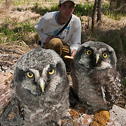 Matt Seidensticker, a biologist from the Owl Research Institute out of Charlo, Montana, studying and recording information on a fledging Northern Hawk Owl (Surnia ulula).