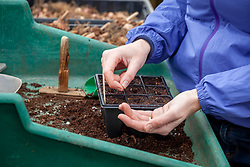 Sowing lettuce in module trays in the greenhouse