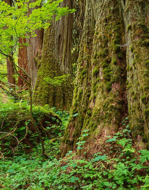 Massive, Old-Growth Western Red-Cedar along the Ohanapecosh River, Mount Rainier National Park, Washington