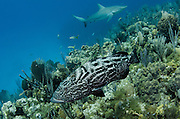 Black Grouper (Mycteroperca bonaci)<br /> Jardines de la Reina National Park<br /> CUBA<br /> DISTRIBUTION: Atlantic Ocean from Massachusetts to Brazil. Gulf of Mexico, Florida Keys, Bahamas & Caribbean