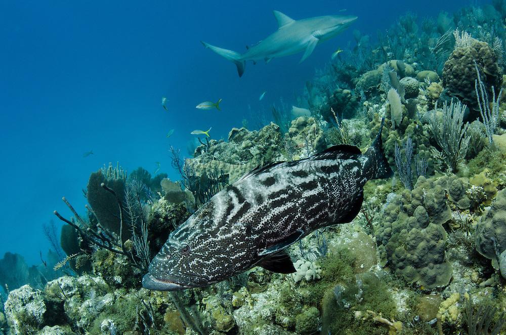 Black Grouper (Mycteroperca bonaci)<br /> Jardines de la Reina National Park<br /> CUBA<br /> DISTRIBUTION: Atlantic Ocean from Massachusetts to Brazil. Gulf of Mexico, Florida Keys, Bahamas & Caribbean