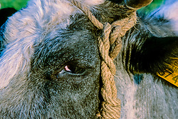 Belgisch witblauwe koe, Bos domesticus