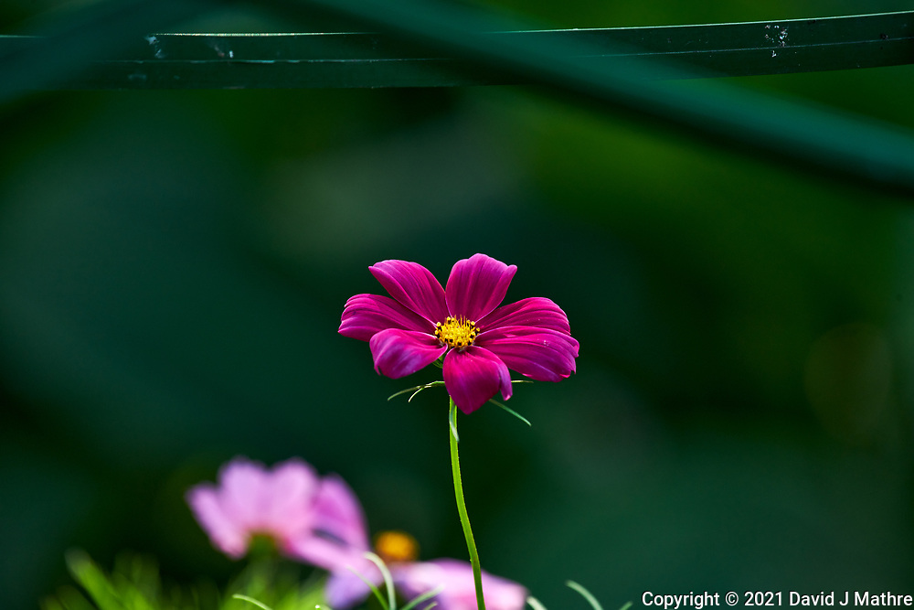 Cosmos. Image taken with a Nikon D850 camera and 70-300 mm VR lens.