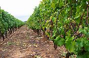 Vineyard. Chateau Liot, Barsac, Sauternes, Bordeaux, France
