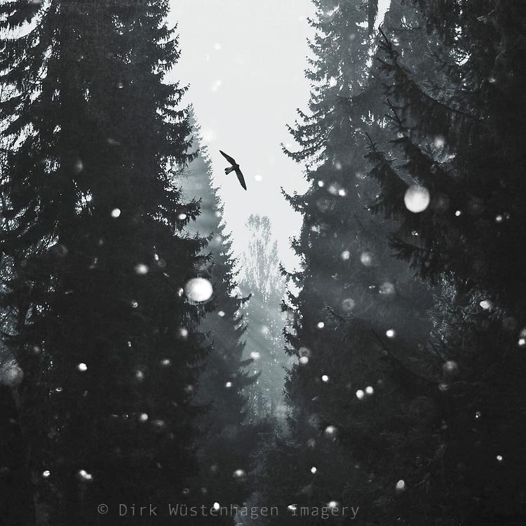Morning light between fir trees on a winter morning - textures photograph