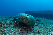 Hawaiian monk seal ( Neomonachus schauinslandi ) critically endangered and endemic to Hawaiian Islands, Lehua Rock, near Niihau, off Kauai, Hawaii ( Central Pacific Ocean )