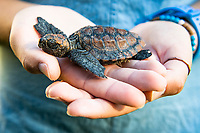 Rescued Loggerhead Turtle hatching held in the hand, Arniston, Western Cape, South Africa