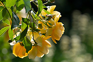 Rosa 'Buttercup' a yellow semi double shrub rose at Chiswick House Gardens, Chiswick House, Chiswick, London, UK