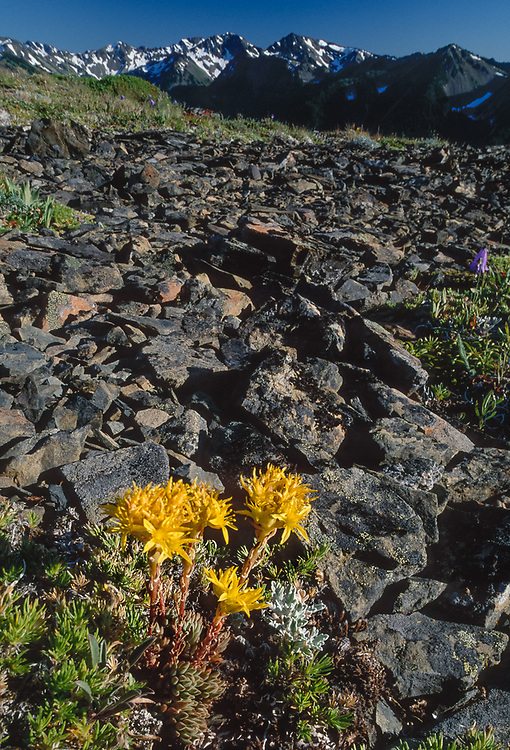 Stonecrop wildflowers, Obstruction Point area, summer, Olympic National Park, Washington, USA