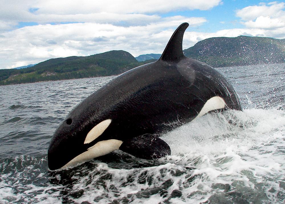Alaska. Orca/ Killer Whale (Grampus orca)