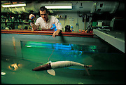 In the water, pike can accelerate at a rate of eight to twelve g's, as fast as a NASA rocket. To scientists, the speed is inexplicable. In an attempt to understand how the flap of a thin fish tail can push a fish faster than any propeller, John Kumph, then an MIT graduate student, built a robotic version of a chain-pickerel?a species of pike?with a spring-wound fiberglass exoskeleton and a skin made of silicone rubber. Now under further development by iRobot, an MIT-linked company just outside Boston in Somerville, MA, the robo-fish can't yet swim nearly as fast as a real pike, suggesting how much remains to be learned. Photographed at the MIT tow tank, Cambridge, MA. From the book Robo sapiens: Evolution of a New Species, page 108-109.