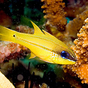 Bargill Cardinalfish shelter in branches of Acropora corals. Picture taken Solomon Islands.