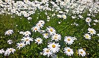 daisies blooming (Bellis perennis)