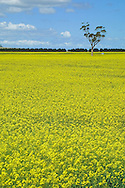 Canola crop in flower.<br /> <br /> Larger JPEG + TIFF images available by contacting use through our contact page at : www.effectiveworkingimage.com