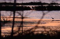 Grey heron, Ardea cinerea, Anklamer Stadtbruch, Germany, Oder river delta/Odra river rewilding area, Stettiner Haff, on the border between Germany and Poland