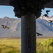 Cliff swallows tend to their mud nests under a bridge at Benton Crossing in the Eastern Sierras.