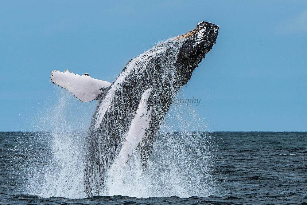 Humpback Breach (Megaptera novaeangliae)<br /> Puerto Lopez<br /> Manabi<br /> Ecuador<br /> South America