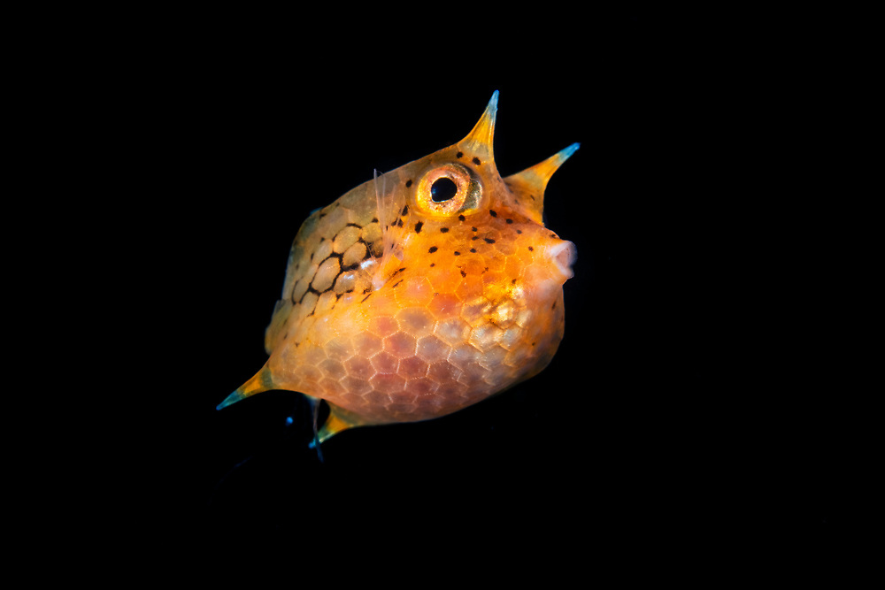 Juvenile longhorn cowfish (20 mm), Lactoria cornuta, swimming out in the open ocean. It is also called horned boxfish. Distributed around the Indo-Pacific region and adults can grow up to 50 cm long. Balayan Bay, Luzon Island, Philippines