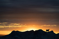 A bighorn sheep in silhouette on a ridge in the Badlands of South Dakota
