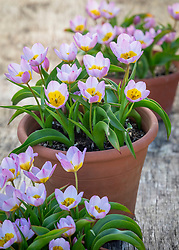 Tulipa saxatilis Bakeri Group 'Lilac Wonder'  AGM in terracotta pots
