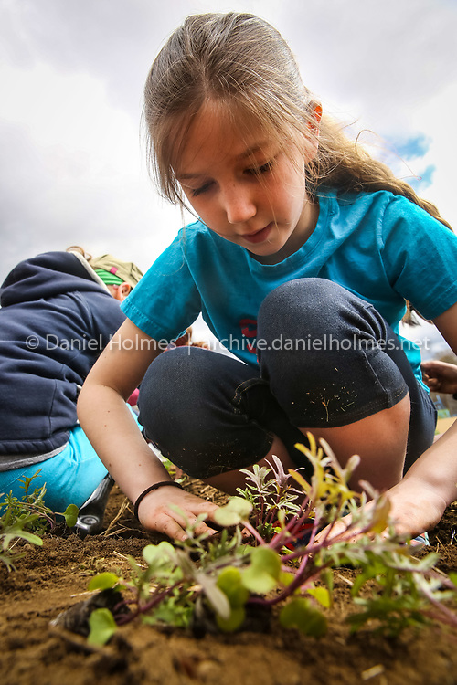 (4/27/15, MEDWAY, MA) Fourth-grader Camryn Raymond plants some kale at Medway Community Farm on Monday. The program has students from Medway Memorial Elementary plant gardens, harvest their crops, and sell the produce at a student-run farm stand. Daily News and Wicked Local Photo/Dan Holmes