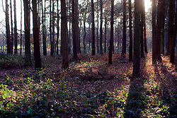 UK ENGLAND NORFOLK HINDOLVESTON 13MAR04 - Trees in a little forest near Hindolveston, rural Norfolk, England.