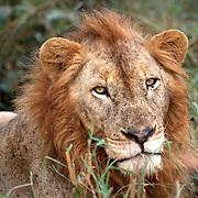 Kruger parken 2002  Syd Afrika<br /> South Africa<br /> <br /> Lejon hanne kattdjur rovdjur predator<br /> big five<br /> <br /> <br /> <br /> FOTO : JOACHIM NYWALL KOD 0708840825_1<br /> COPYRIGHT JOACHIM NYWALL<br /> <br /> ***BETALBILD***<br /> Redovisas till <br /> NYWALL MEDIA AB<br /> Strandgatan 30<br /> 461 31 Trollhättan<br /> Prislista enl BLF , om inget annat avtalas.