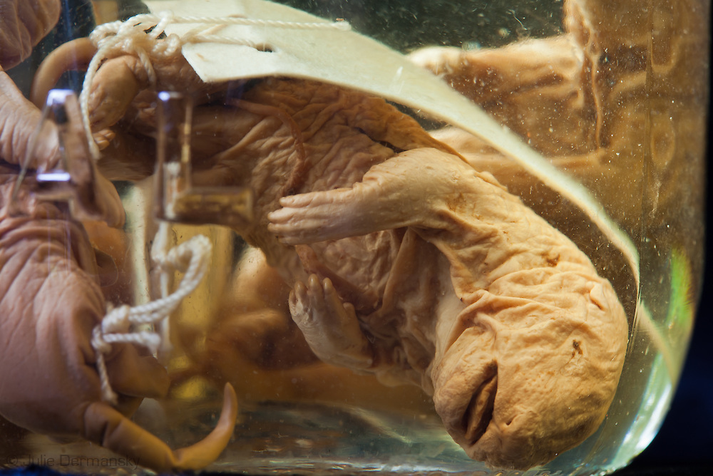 Mammal fetus in a jar at the Tulane Natural History Museum.