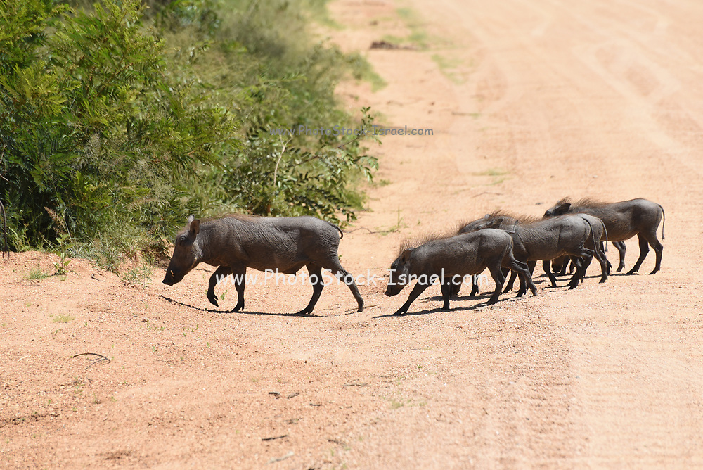Warthog (Phacochoerus africanus) and young. Warthogs are a wild member of the pig family (Suidae) found in grassland, savannah, and woodland in sub-Saharan Africa. Photographed in Kruger National Park, South Africa.