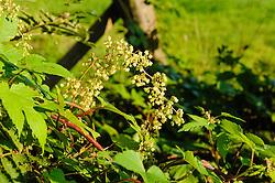 Hop, Humulus lupulus