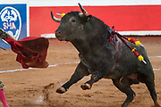 An angry and wounded bull charges Spanish bullfighter Paco Urena at the Plaza de Toros bullring March 3, 2018 in San Miguel de Allende, Mexico.