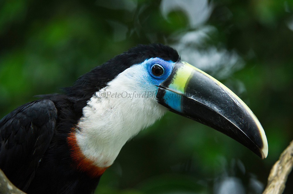 White-throated Toucan (Ramphastos tucanus) CAPTIVE<br /> Yasuni National Park, Amazon Rainforest<br /> ECUADOR. South America<br /> HABITAT & RANGE: Tropical humid forests, woodland and riverine forests from Colombia, Ecuador, Peru, Boliva, Venezuela, Western Brazil and Guianas.