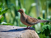 Mourning Dove. Image taken with a Nikon D5 camera and 600 mm f/4 VR lens (ISO 800, 600 mm, f/5.6, 1/1250 sec).