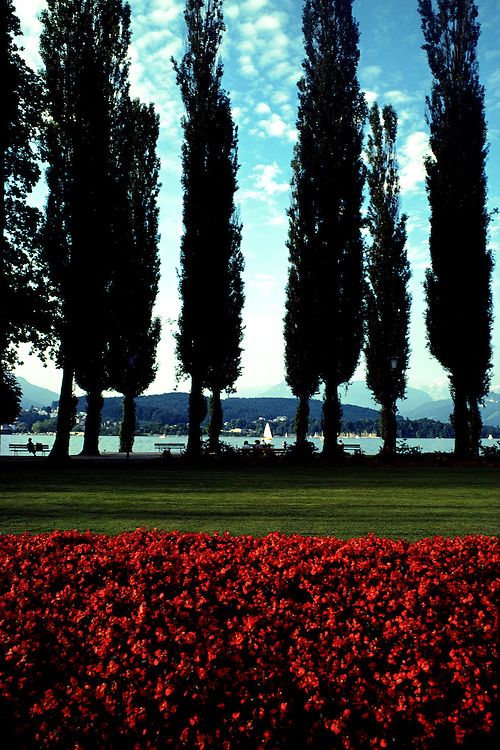 Lake Lucerne, Switzerland is a popular vacation destination in Europe. Image of a row of mature,very tall Cypress trees against blue sky along the shore of Lake Lucerne, Switzerland. Red geraniums are blooming in the foreground and sailboat in the distance. Tourist enjoy relaxing in the garden park, sitting on the park benches and participating in recreation activities on the lake like fishing, hiking or sailing. The Swiss Alpine Mountin Range is in the background.