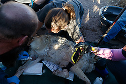 Biologists with restrained female Mexican wolf during medical procedure at wolf management facility, Ladder Ranch, west of Truth or Consequences, New Mexico, USA.